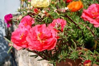 Μεταξάκι, πορτουλάκα, Moss rose