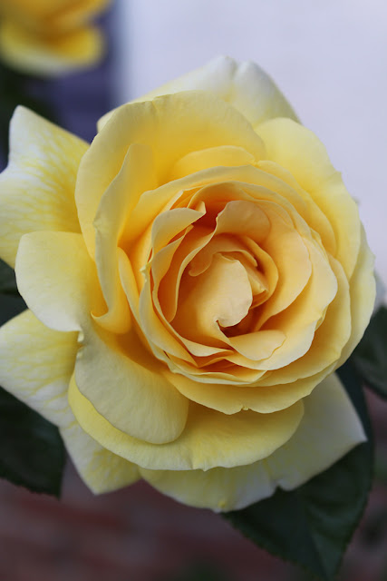 خلفيات ورود جميلة جدا صورة وردة جميلة 20