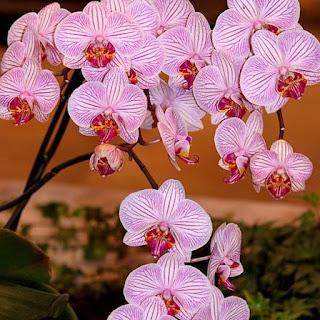 Gambar Bunga Anggrek Tercantik di Dunia 24