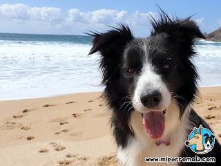Border Collie en la Playa Canina MAR DE FORA - Fisterra