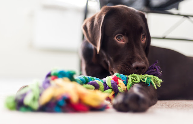A brown labrador puppy lies down with a rope toy. Top puppy tips from the experts