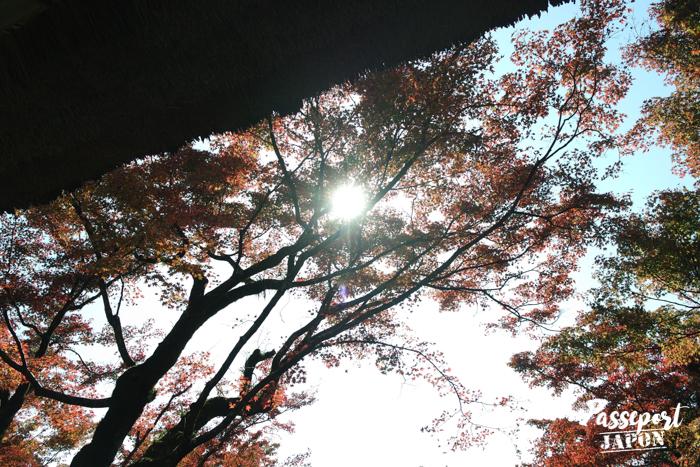 soleil éblouissant, entre les branches d'un érable à Kunenan, Kanzaki, Saga