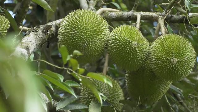 Cara Budidaya Buah Durian D24