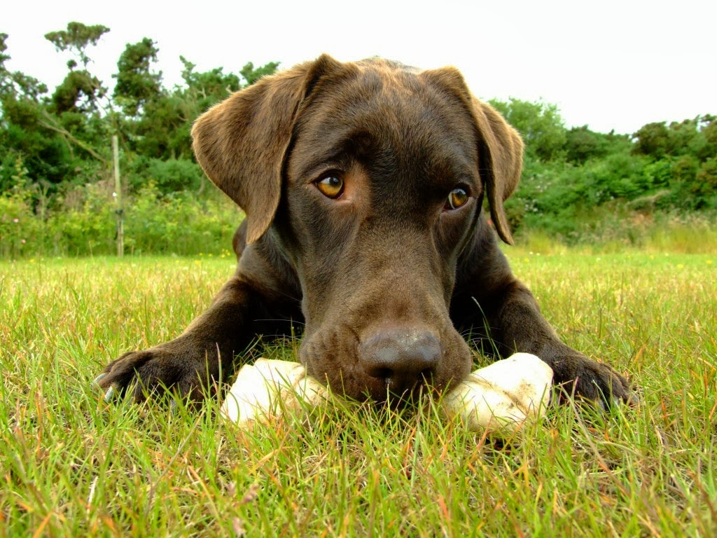 Dog Breed Directory Labrador Retriever Dog Breed