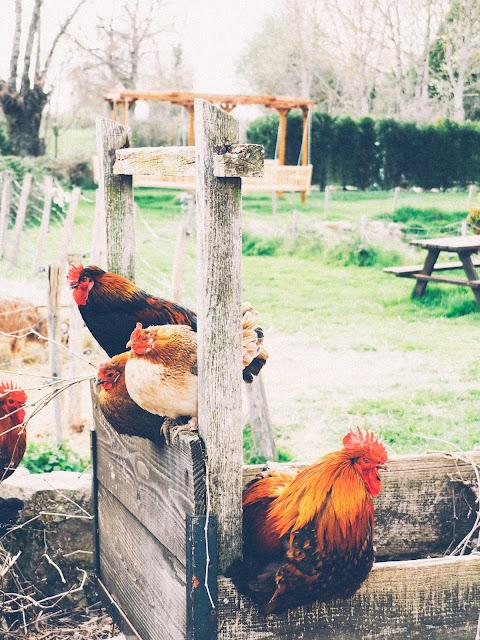 Kippen op het platteland