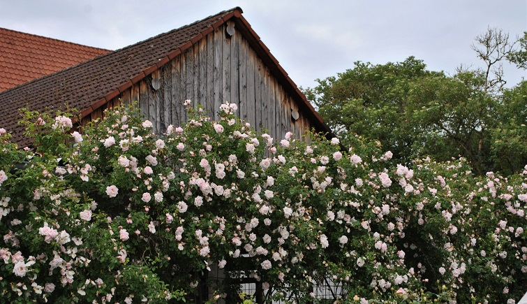 Rosenkletterwand Hauswand Verschönerung