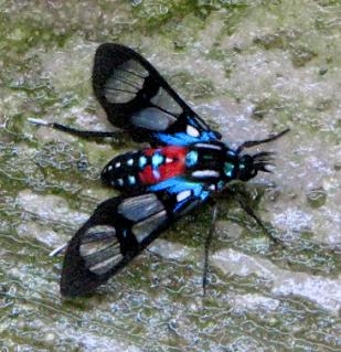 Costa Rica moth
