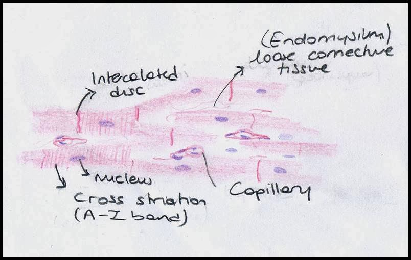 Cardiac Muscle Tissue Diagram Labeled 1996 Dodge Caravan Trailer Wiring Labelled Of And Visceral Tissues Layers