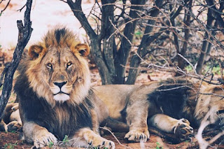 dream about a lion meaning