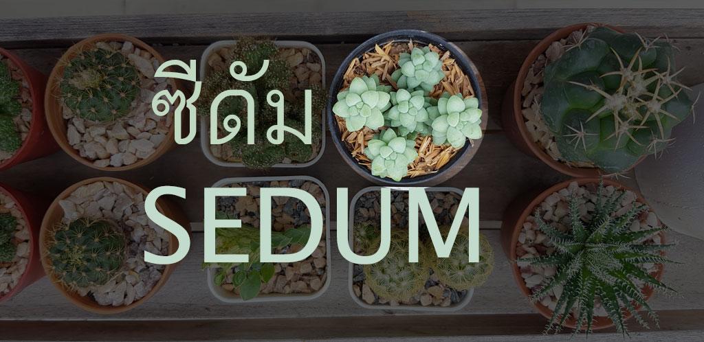 ซีดัม Sedum