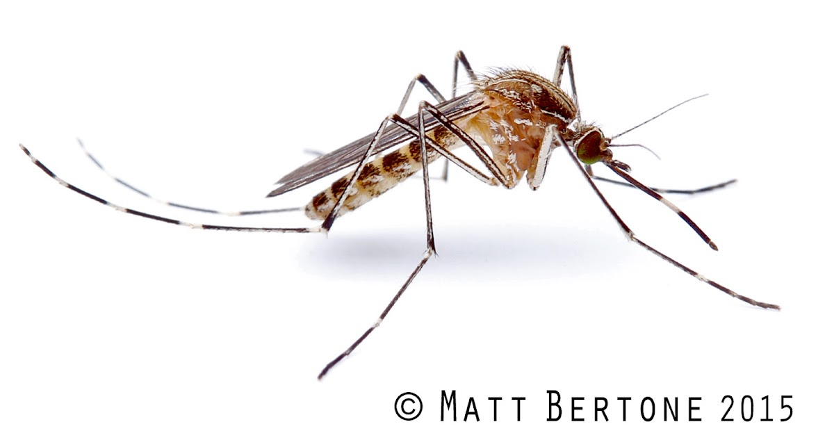 NCSU PDIC: Mosquitoes in Winter