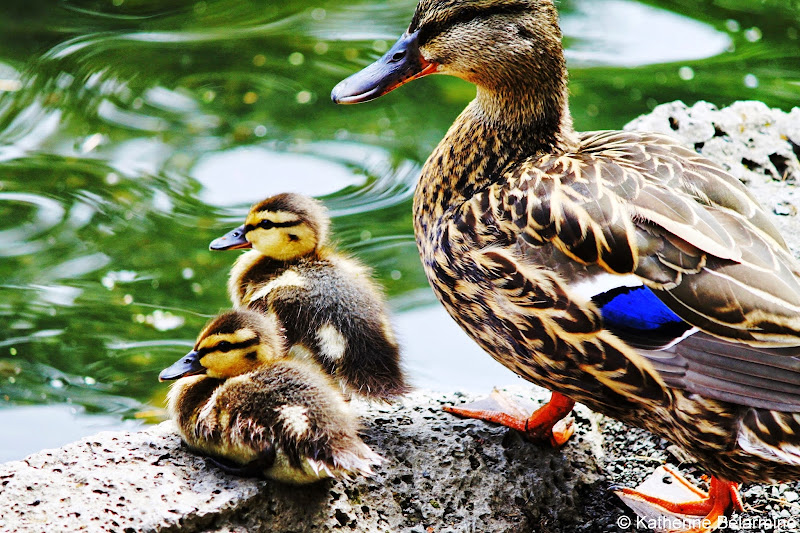 Duck and Ducklings Crystal Springs Rhododendron Garden Portland Oregon