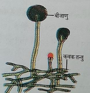 राइजोपस में बीजाणु द्वारा प्रजनन