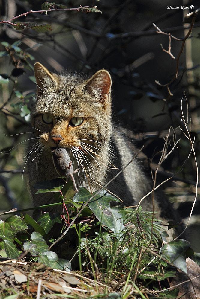 Proyecto Gato Montés (Wildcat project): junio 2016