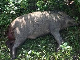 Puluhan Babi Mati diperkebunan Karet, Warga Tulung Selapan keluhkan bau busuk yang menyengat