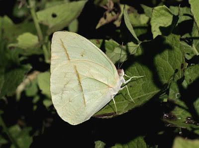 Mariposa hoja amarilla (Phoebis trite)