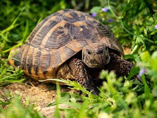 cara-merawat-kura-kura-hermani.jpg