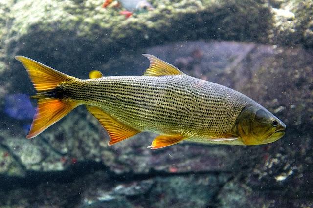 Mengenal Lebih Dekat tentang Spesies dan Karakteristik Ikan Golden Dorado