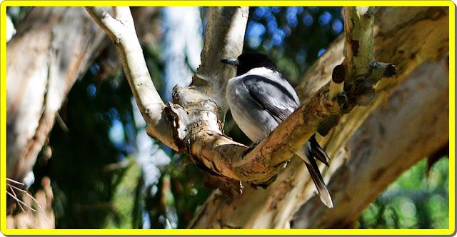 australias bird life