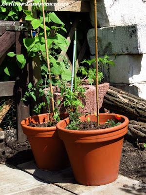 Gemüsegarten: Tomate im Kübel