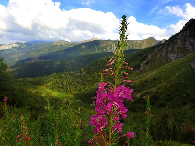 Kwiaty wierzbówki kiprzycy w Dolinie Kondratowej