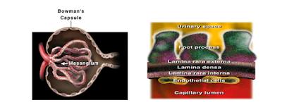 Struktur Capsula Bowman dan epitel glomerulus