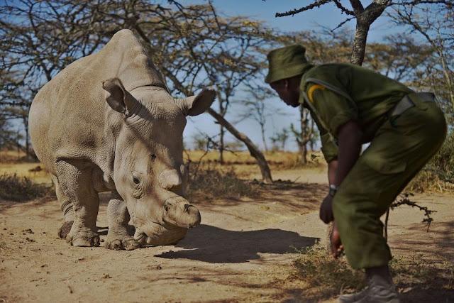 """الأجنة """"الجميلة"""" التي تم إنشاؤها من الحيوانات المنوية وحيد القرن انقرضت تقريبا"""