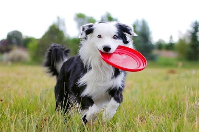 Dạy cún chơi ném đĩa