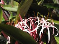 Spider lily, Botanical Garden north of Hilo, Hawaii