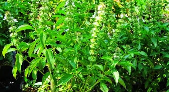 8  manfaat daun kemangi bagi kesehatan tubuh manusia