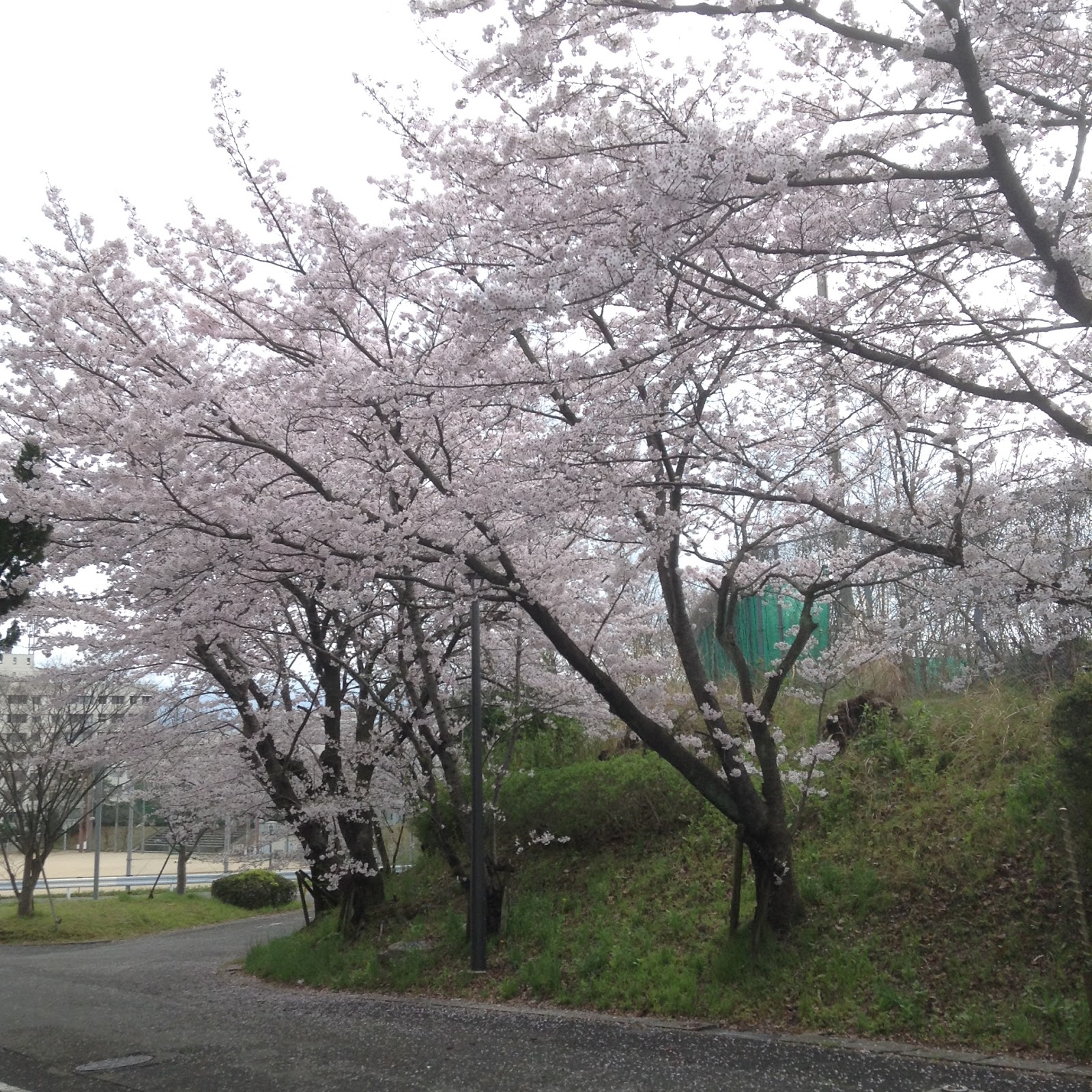 Osaka Uni Sakura