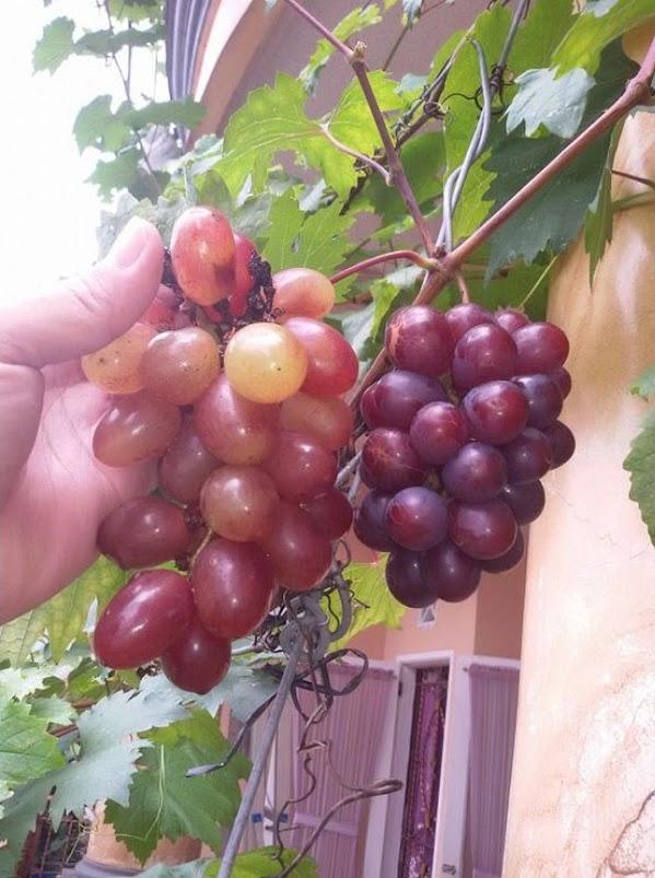 Bibit anggur import jenis Nizina manis Metro