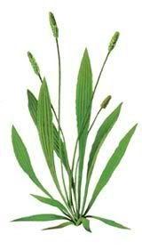 Male plantain (Plantago lanceolata) is characterized by long and narrow green leaves. In the central part, is a long stem that bears on the top of the ear of green brown color on which ripen seeds of plantain.