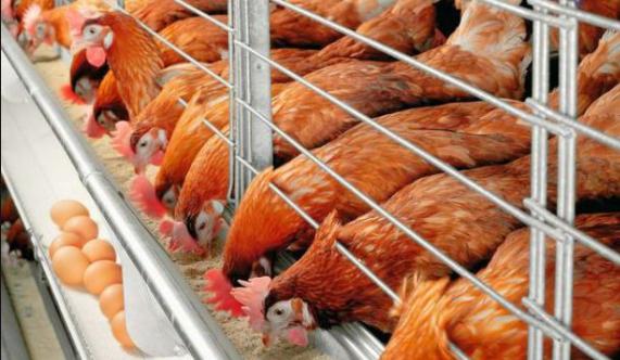 Cara usaha ayam petelur untuk pemula