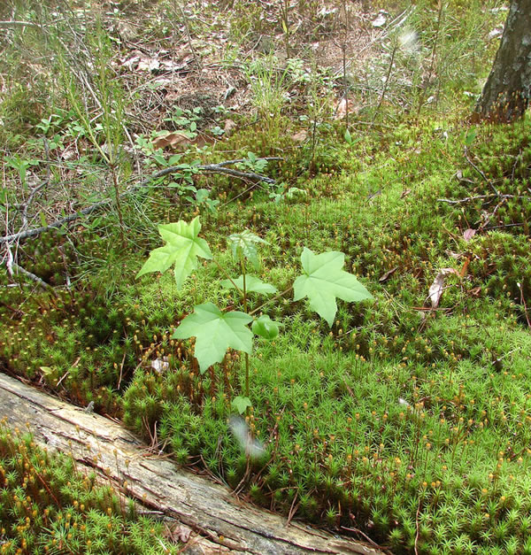 Little sweetgum growing out of moss