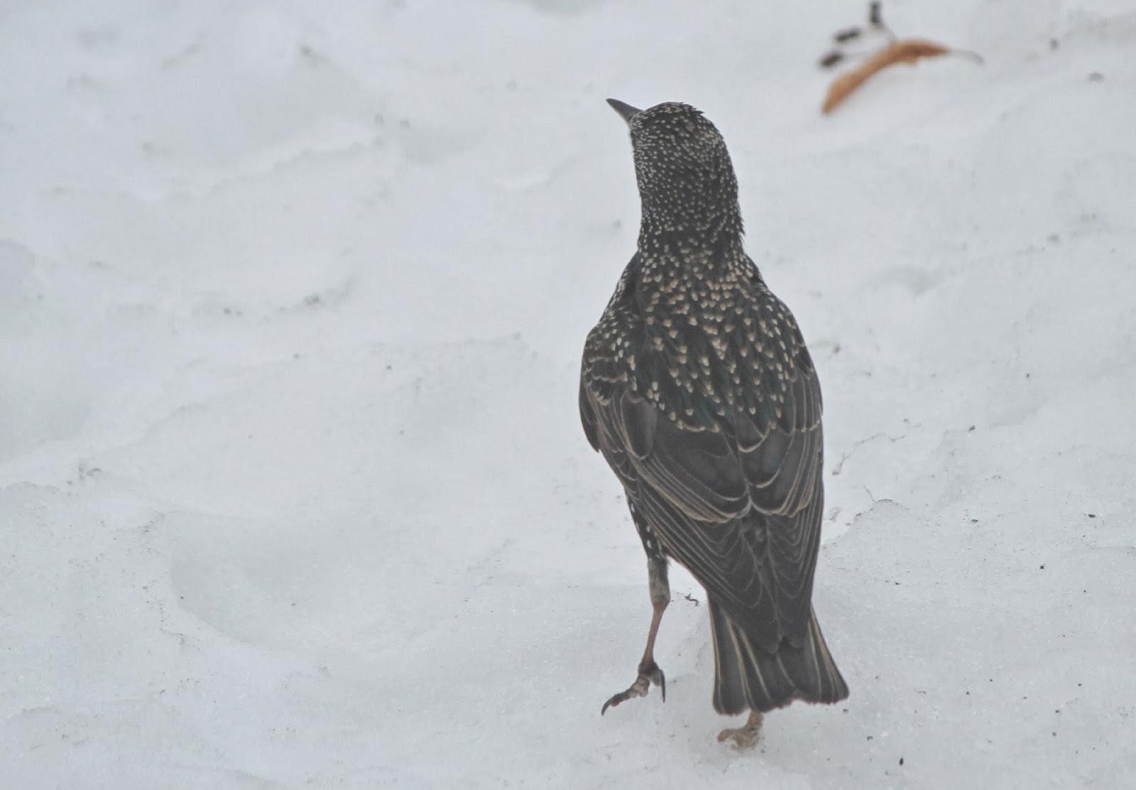 the great backyard bird count