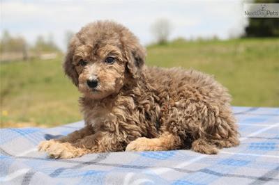 F2 Aussiedoodle Temperament, Size, Lifespan, Adoption