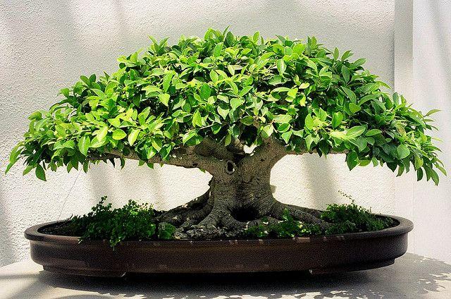 bonsai plants indoor