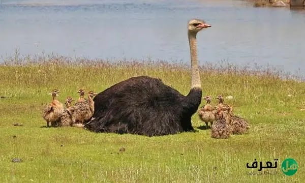 ماهو اكبر طائر في العالم