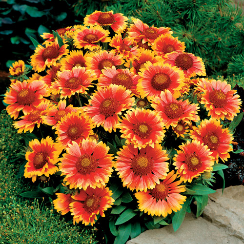 Heat Tolerant Perennials: Dr. Dan's Garden Tips: Hot, Hot, Hot