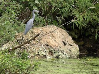 Kuba, Rio Canimar zwischen Matanzas und Varadero, großer grauer Vogel über auf einem Ast über dem Fluss, auf dem viele Wasserpflanzen schwimmen.