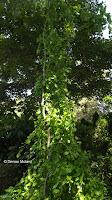 Trained tree in Anne's garden - Stratford, CT