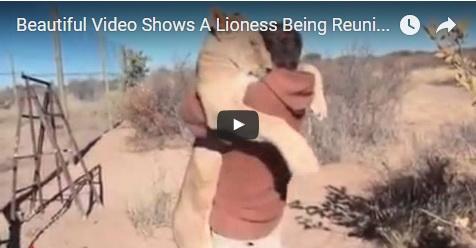 VIDEO: Ditolong Saat Dahulu Nyaris Mati, Singa Betina Ini Langsung Memeluk Pria Yang Menolongnya