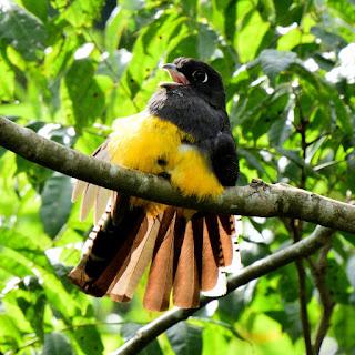 trogon in Costa Rica