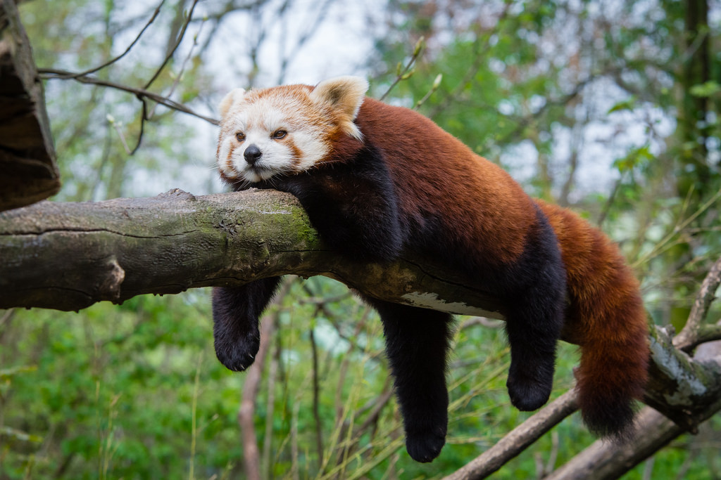 f9920276b Despite these similarities and their shared name, the two species are not  closely related. Red pandas are much smaller than giant pandas and are the  only ...