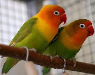 solusi lovebird cepat betelur
