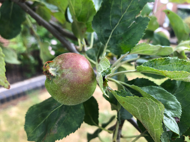 June fruitlet on Core Blimey apple tree
