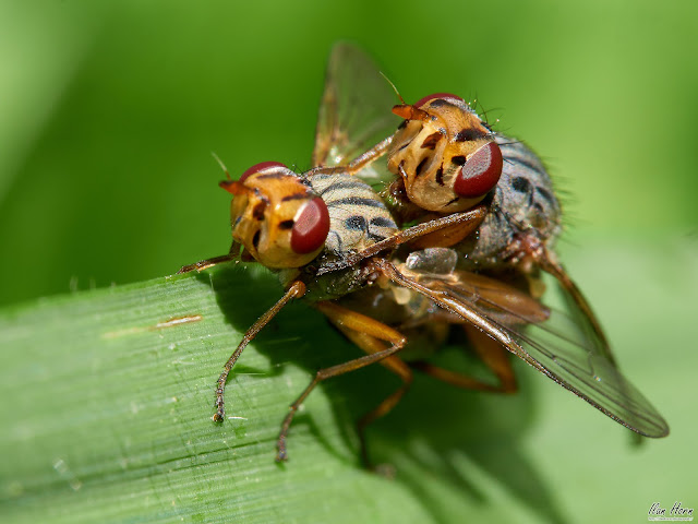 A Couple of Flies