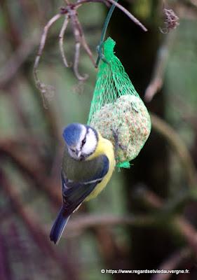 Oiseaux du jardin :  Mésange bleue