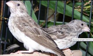 Suara Kicau Burung Sangken Masteran